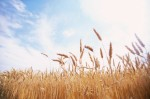 New harvest method for same yields and better soil and moisture preservation