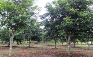 Seven year old Pongamia trees at the TOIL (Tree Oils India Ltd) R&D farm