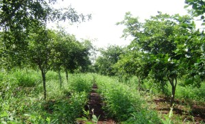 Pigeonpea growing between rows of 3 yr old Pongamia trees on the TOIL farm